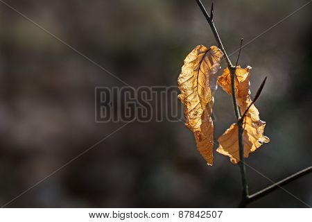Dry Leaves On A Twig Of A Beech Tree