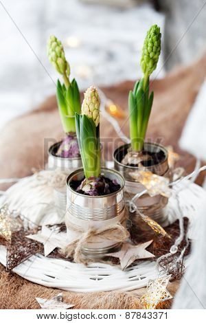 Three hyacinths in used cans