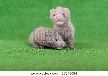 Gray Animals Mink