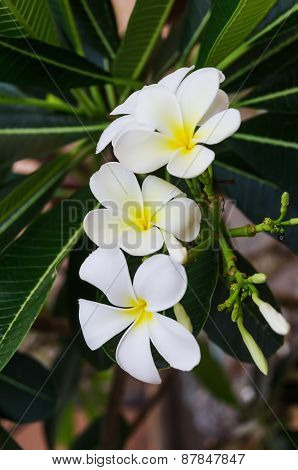 The Branch Of White Frangipani Flowers