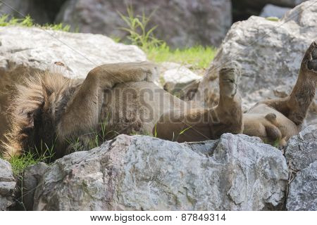 a lion sleeping supine on the rock