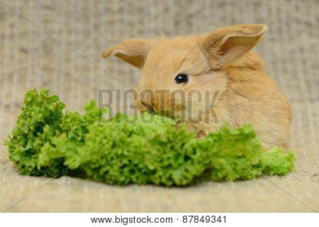 Newborn Brown Rabbit