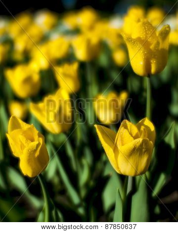 Yellow Tulips Blurred