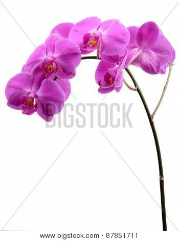 Pink Orchid With Long Stalk Isolated On White