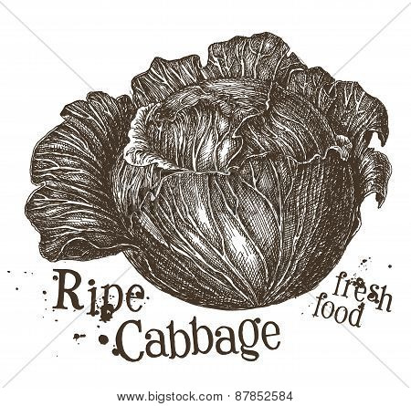 fresh cabbage vector logo design template. vegetables, food or harvest icon.