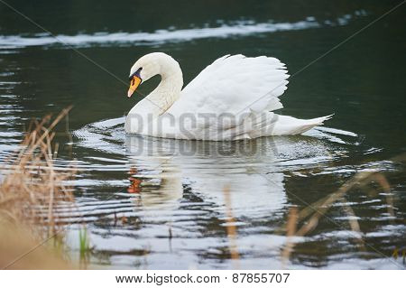 Beautiful young white swan in lake