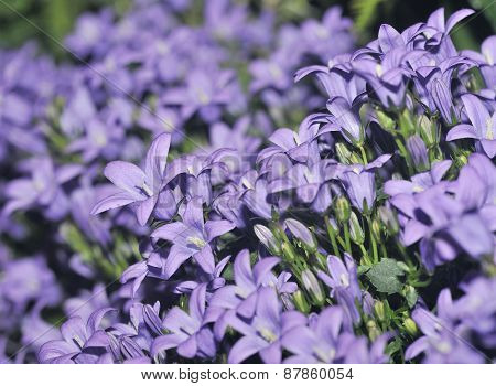 Adria Or Dalmatian Bellflower