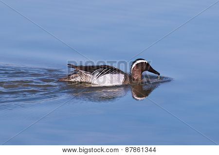 Greylag goose with some chicks born in the wetlands of the