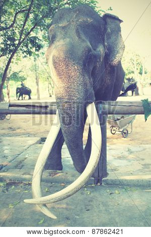 Old elephant with long tusks. Instagram style filtred image.