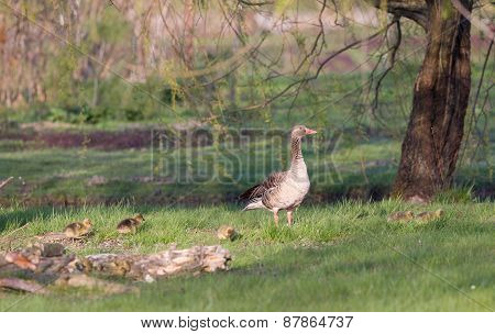 Wild Goose With Goslings