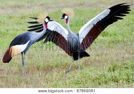 Two Black Crowned Canes