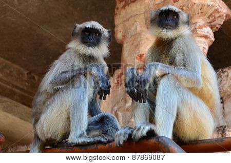 Two gray langurs