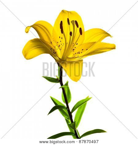 Beautiful lilly, vector