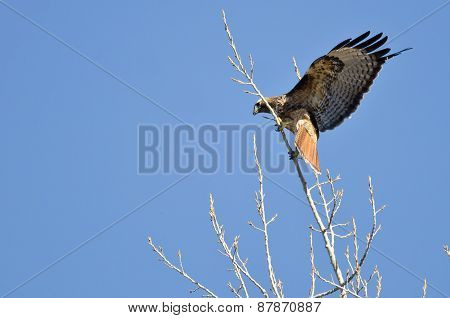 Red-tailed Hawk Landing In The Tree Tops