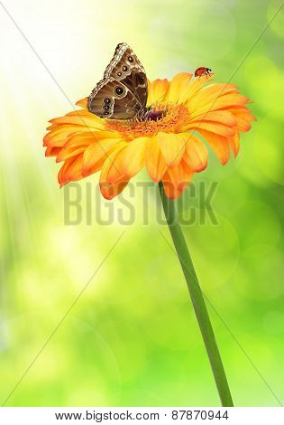 gerberas flowers with butterfly