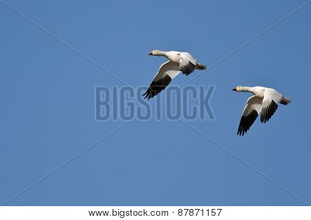 Synchronized Flying Demonstration By A Pair Of Snow Geese