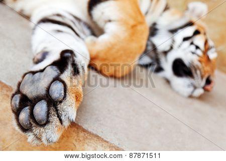 Sleeping Tiger, Chiang Mai, Thailand
