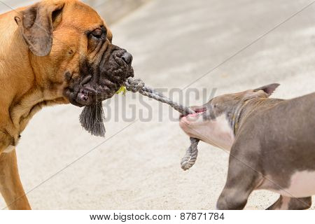 Two Dogs Play
