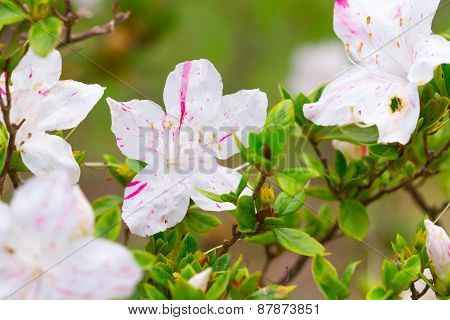 pink Azalea flower Azalea flower in the morning