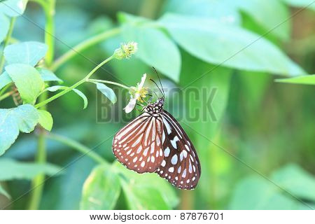 Blue Spotted Milkweed butterfly and flower