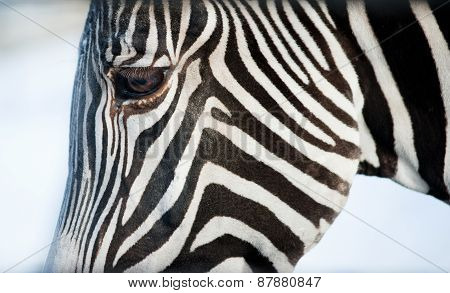 The Face Of A Grevy's Zebra Close Up