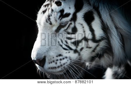 Closeup Of White Tiger With Fur Detail And Stripes
