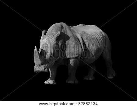 rhino on black