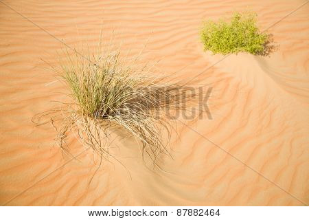 Some green plants in desert sand
