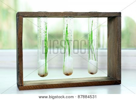 Sprouted grains in glass test tubes on windowsill background