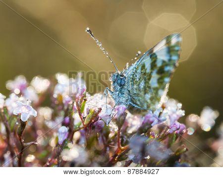 Morning Butterfly On Green Meadow..