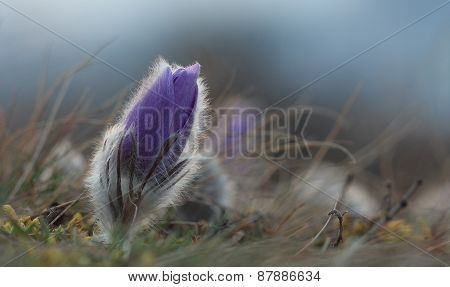 Spring Flower Pasqueflower- Pulsatilla Grandis, A Moment Before Sunrise