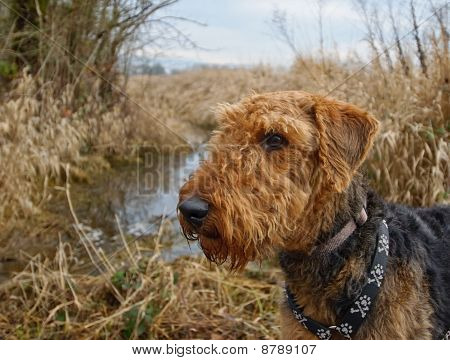 Airedale Terrier Dog Outdoors Near Field And Water