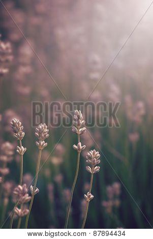 Lavender Field Vertiical Orientation