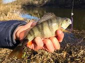 picture of caught  - Freshly caught perch in the hands of the fisherman - JPG