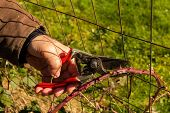 picture of prunes  - A man pruning back a thorny blackberry cane - JPG