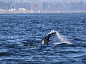foto of whale-tail  - A Gray Whale diving in the Puget Sound - JPG