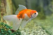 pic of goldfish  - Red cap oranda goldfish in an aquarium closeup - JPG