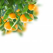 picture of tangerine-tree  - tangerine tree branches  with green leaves  on white background - JPG