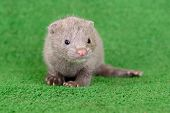 picture of mink  - small gray animal mink on green background - JPG
