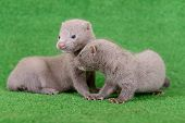 stock photo of mink  - Two small gray animals mink are played on a green background