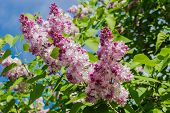 image of lilac bush  - Lilac bush with pale purple flowers against the green foliage and blue sky - JPG