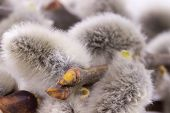 stock photo of willow  - Close up photo of the grey willow - JPG