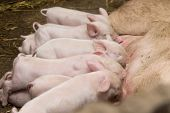 image of piglet  - Little piglets suckling their mother - JPG