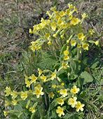 stock photo of cowslip  - False Oxlip - Primula x polyantha Hybrid of Cowslip & Primrose - JPG