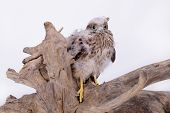 picture of hawk  - young chick hawk sitting on a wooden driftwood on a white background - JPG