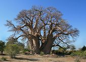foto of sub-saharan  - Giant baobob tree in Botswana - JPG