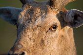 foto of deer head  - Close up of Fallow deer head looking ahead - JPG