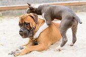 pic of bull-mastiff  - two dogs - JPG