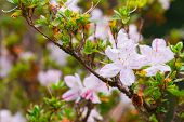pic of azalea  - Pink azaleas in the park close up and soft focus - JPG