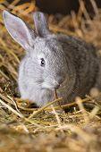 stock photo of rabbit hutch  - Little rabbit on Dry Grass  - JPG